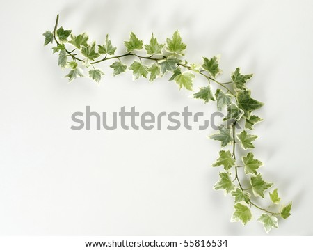 branches of ivy leaf on the white background