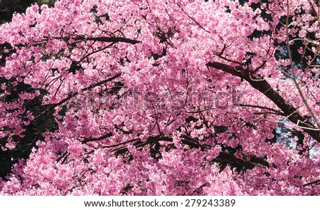 Branches of Japanese cherry tree covered with pink cherry blossoms