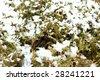 Branches of juniper under snow - stock photo