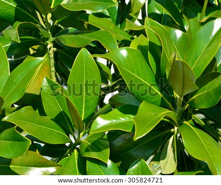branches of laurel - stock photo