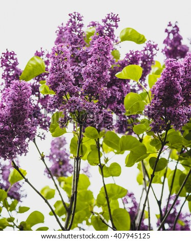 Branches of lilac flowers  - stock photo