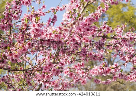 Branches of peach tree in blossom - stock photo
