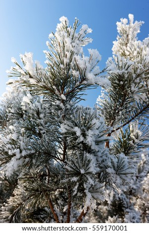 Branches of pine covered with frost on a background of blue sky