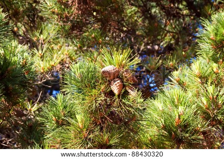 Branches of  pine tree  with few cones