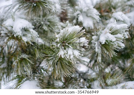 Branches of pine tree with snow - stock photo