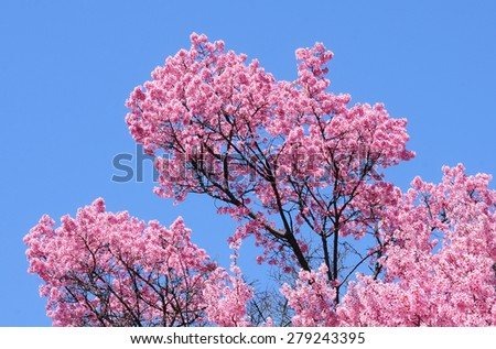 Branches of pink flowering Japanese cherry tree against blue sky