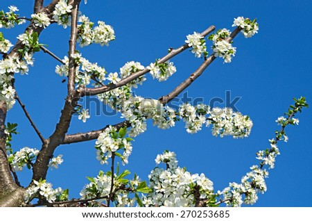 Branches of plum tree in bloom - stock photo
