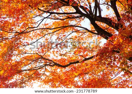 Branches of red acer palmatum in autumn - stock photo