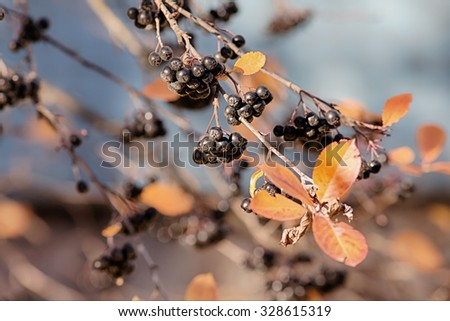 branches of ripe black chokeberry in autumn - stock photo