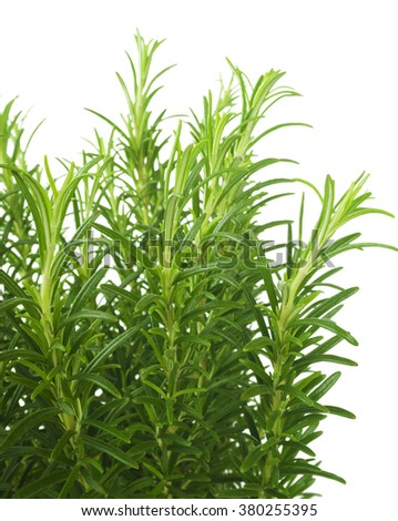 Branches of rosemary isolated on a white background - stock photo