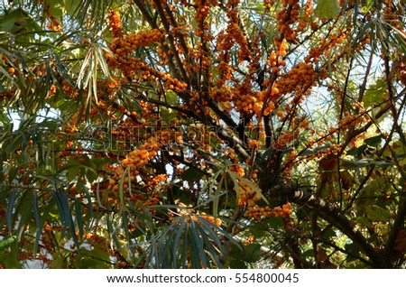 branches of sea-buckthorn (Hipp�³pha�« rhamno�­des) with ripe fruits lighted by the sun