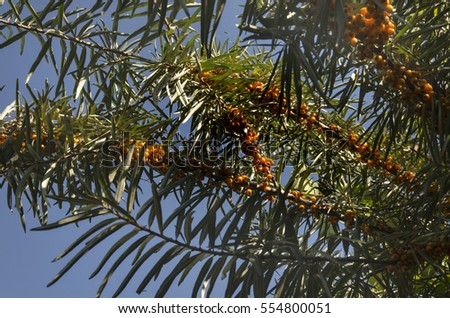 branches of sea-buckthorn with ripe fruits lighted by the sun