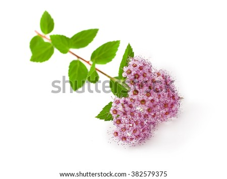 Branches of Shrubs Spiraea with fluffy pink flowers isolated on white background (Japanese spiraea) - stock photo