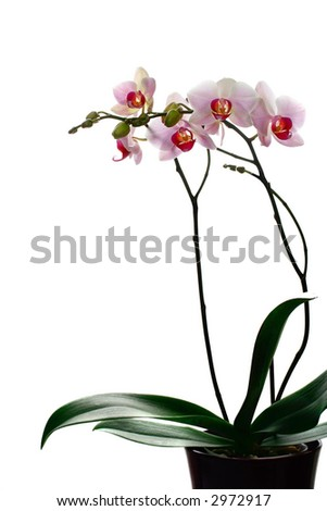 Branches of tender white and red phalaenopsis ( Moth Orchid ) in a pot, against white background.