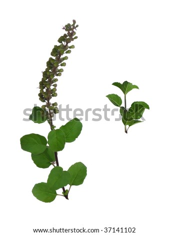 Branches of the Basil plant, with focus on the dark green leaves, whose paste is said to be a preventive cure for H1N1 / swine flu.