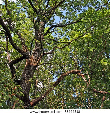 branches of the oak - stock photo