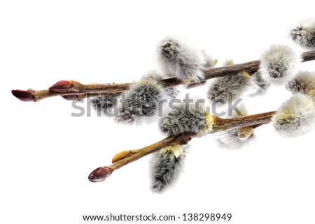 Branches of the pussy willow with flowering bud.Isolated - stock photo
