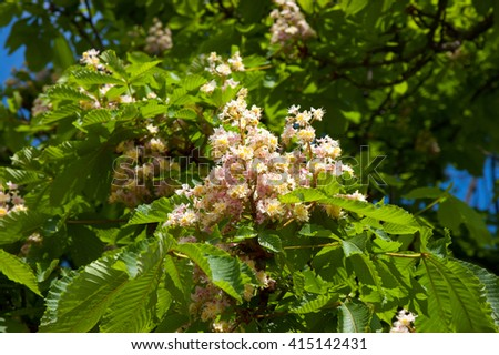 branches of the spring chestnut blossoming in the pink color close up - stock photo