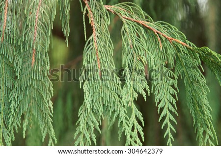 Branches of thuja, close up view. - stock photo