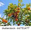 Branches of tree with oranges - stock