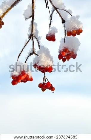 Branches of viburnum in snow - stock photo