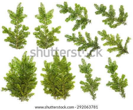 Branches set of an evergreen coniferous  Yew  tree. Isolated collage from several front and back view  photos for Xmas decoration