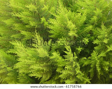 Branches Thuja background green tree - stock photo