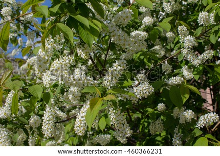 Branches with blooming white flowers - stock photo