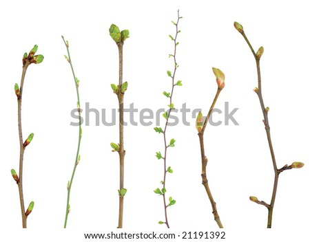Branches with bud on white - stock photo