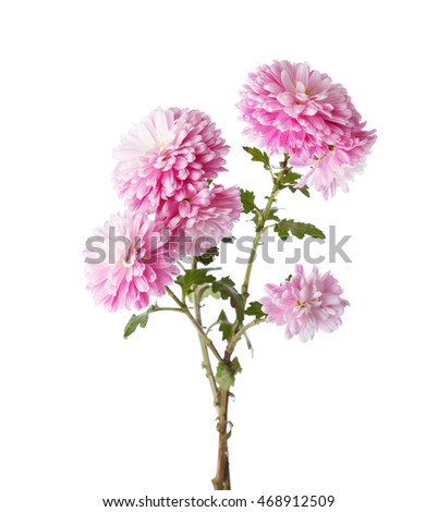 Branches with flowers of chrysanthemums isolated on white