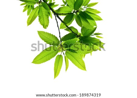 Branches with green toothed leaves isolated on white, shot from below upwards  - stock photo