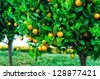 Branches with the fruits of the tangerine trees, Montenegro - stock