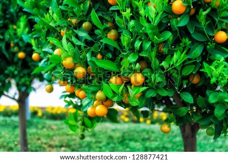 Branches with the fruits of the tangerine trees, Montenegro - stock photo
