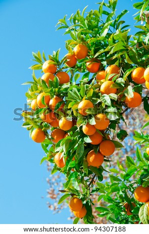 Branches with the fruits of the tangerine trees, Sevilla, Spain - stock photo