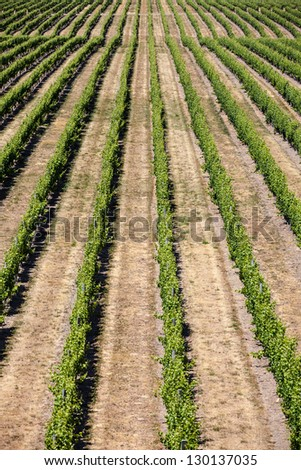 Brancott Estate Vineyard - stock photo