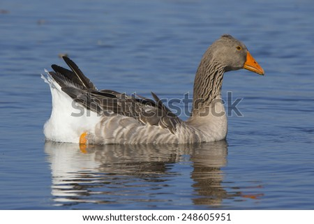 Brant on a sea in Germany. Sunny light. - stock photo