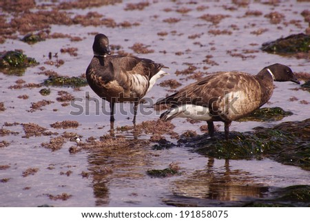 Brant or Brent Goose (Branta bernicla) pair wading in tide pools at low tide  near Otter Rock, Oregon coast  - stock photo