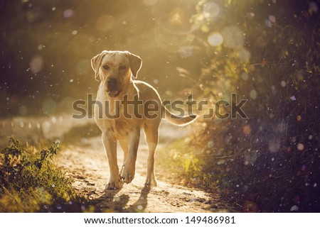 brave and kind labrador for a walk in the park. - stock photo