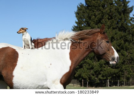 Brave Parson Russell terrier sitting alone on horse back - stock photo