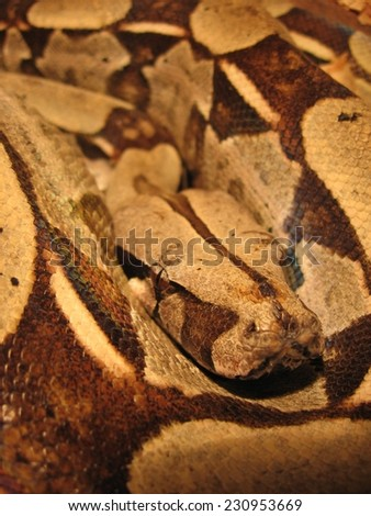 Brazilian boa snake - stock photo