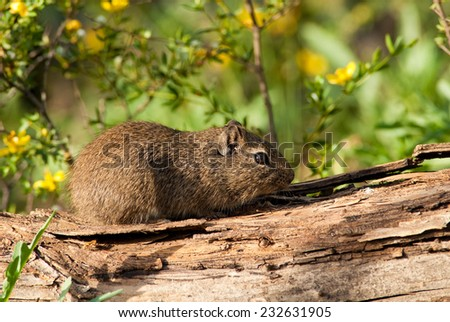 Brazilian Guinea Pig (Cavia aperea pamparum). Patagonia, Argentina, South America. - stock photo