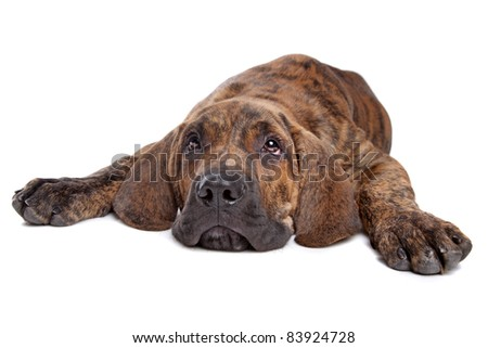 Brazilian Mastiff also known as Fila Brasileiro puppy in front of a white background - stock photo