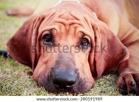 Brazilian Mastiff or Fila Brazil dog at the park - stock photo