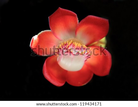 Brazilian nut flower