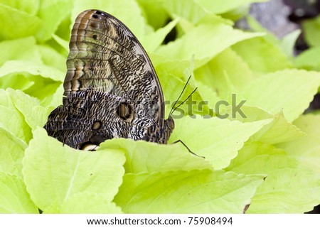 Brazilian Owl Butterfly Resting on a Green Leaf - stock photo