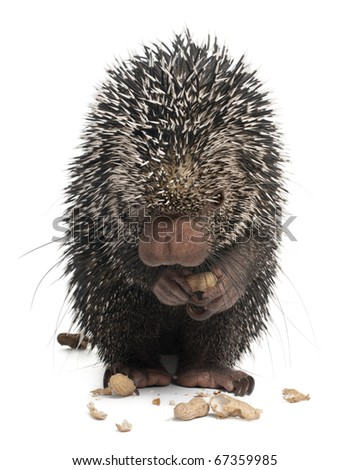 Brazilian Porcupine, Coendou prehensilis, eating peanuts in front of white background
