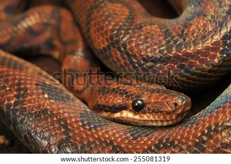 Brazilian Rainbow Boa - Epicrates cenchria - stock photo