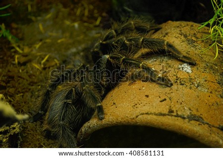 Brazilian salmon pink bird-eating tarantula (Lasiodora parahybana) at a terrarium in a zoo - stock photo