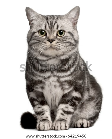 Brazilian Shorthair cat, 1 year old, sitting in front of white background - stock photo