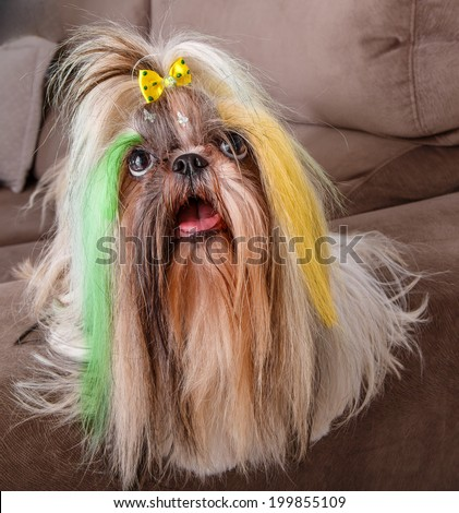 Brazilian soccer fan or supporter dog with the hair painted in yellow and green for the championship or competition or cup. - stock photo